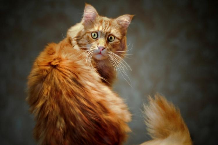 рудий кіт, рыжий кот