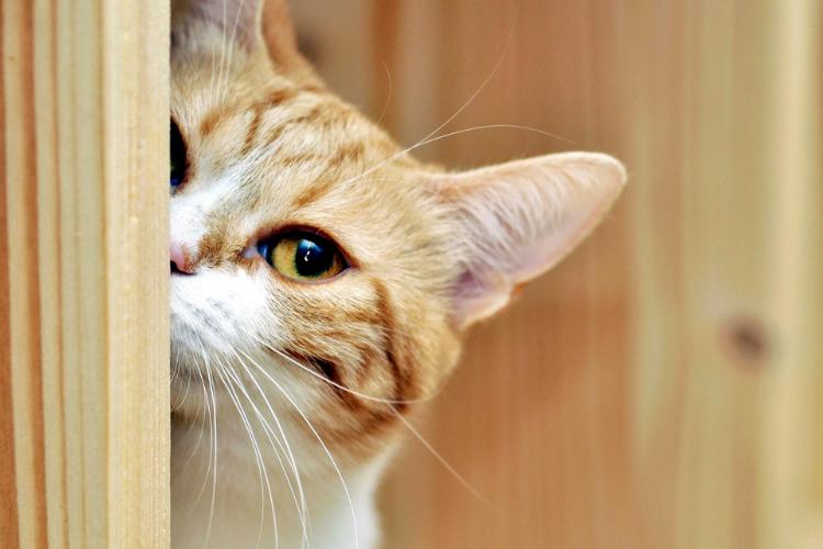 кіт виглядає з-за дверей, киця, котик