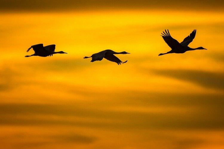 чому птахи літають ключем