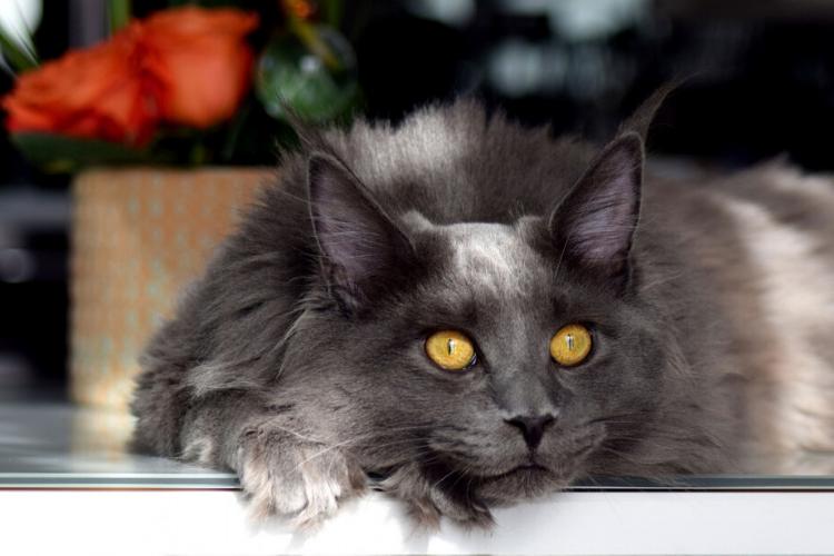 сірий кіт