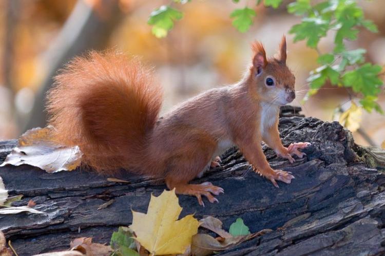 білка, осінь, ліс