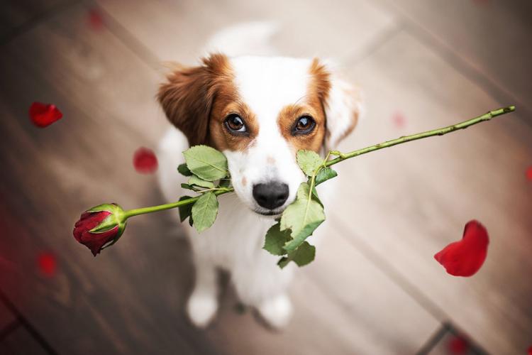 песик з трояндою